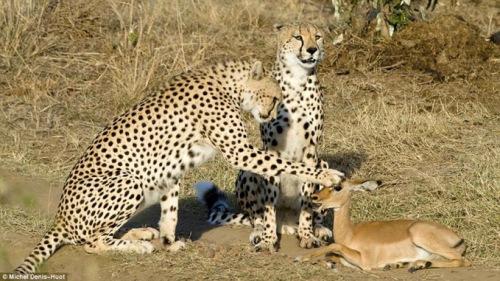 geparden und impalla3