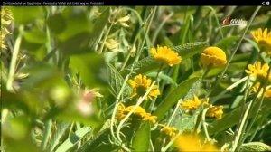 krameterhof gelbblühende pflanzen