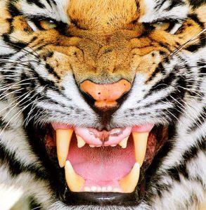 tiger zähne