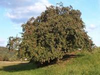 200px-Apfelbaum