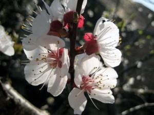 bachlbüten_cherry_plum