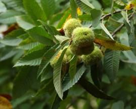 sweet chestnut 1