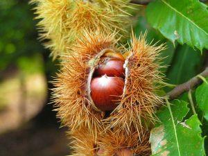 sweet chestnut 7