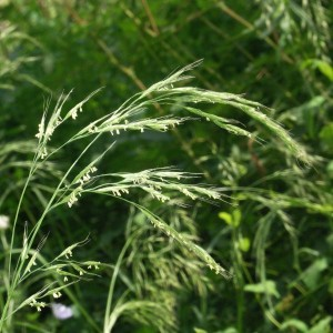 wild oat 1