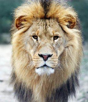 lion_halfwaystage
