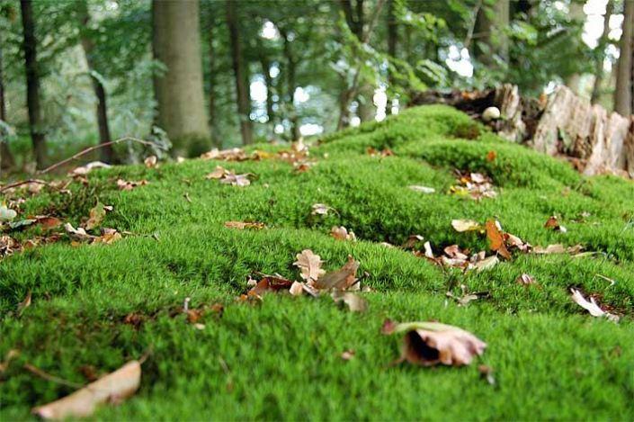 moosbedeckter-waldboden